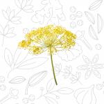 ERBE_fiore-di-finocchio